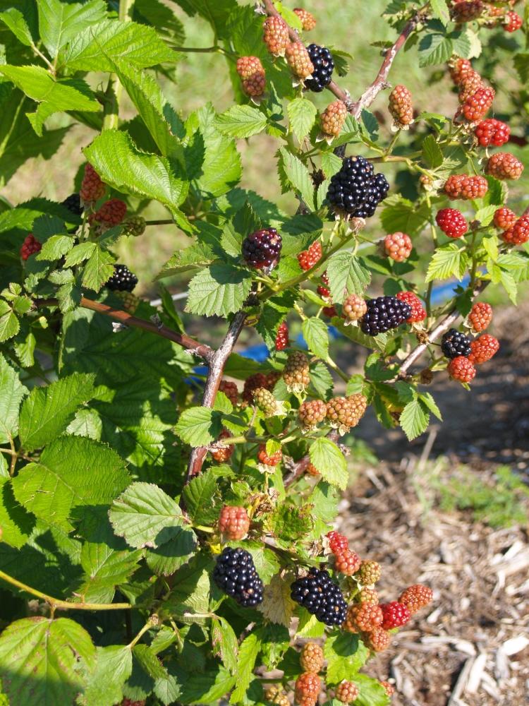 Seedless Blackberry Jam and Blackberry Cobbler